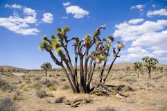 Blauer Himmeljoshua-Baum stockbilder