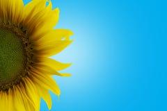 Blauer Hintergrund der Sonnenblume Farb- sondern Sie aus Stockfoto