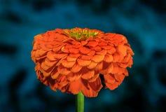 Blauer Hintergrund orange Zinnia-Blumengarten Stockbild