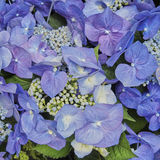 Blauer Hortensia blüht Nahaufnahme Lizenzfreie Stockbilder