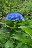 Blauer Hortensiehintergrund Stockfotos