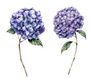 Blauer Hortensiesatz des Aquarells Handgemalte Blumen mit den Blättern und Niederlassung lokalisiert auf weißem Hintergrund Natur lizenzfreie abbildung