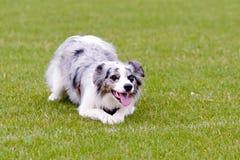 Blauer Hund Merle border collie, der auf Gras im Park liegt Lizenzfreies Stockbild