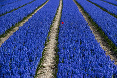 Blauer Hyacinth Field Stockfoto