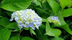 Blauer Hydrange-Frühling blüht Nahaufnahme Lizenzfreie Stockfotografie