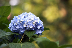 Blauer Hydrangea. Lizenzfreies Stockfoto
