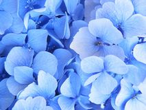 Blauer Hydrangea in der Blüte Lizenzfreie Stockfotos