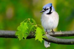 Blauer Jay Stockfotos