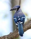 Blauer Jay Stockfotografie