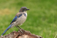 Blauer Jay auf einem Protokoll lizenzfreie stockfotografie