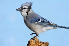Blauer Jay auf einem Stumpf Stockbild