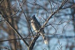 Blauer Jay auf einem Zweig lizenzfreie stockbilder