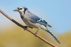 Blauer Jay auf einem Zweig Stockfoto