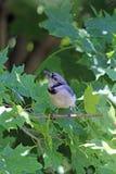 Blauer Jay auf einem Zweig stockfotos