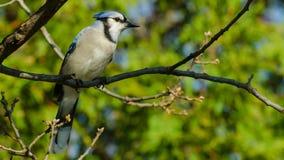 Blauer Jay auf einem Zweig Lizenzfreie Stockfotografie