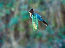 Blauer Jay auf einer Zufuhr Lizenzfreie Stockfotos