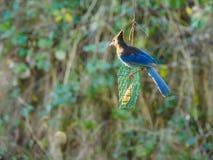 Blauer Jay auf einer Zufuhr Stockfoto