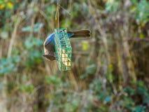 Blauer Jay auf einer Zufuhr Lizenzfreies Stockfoto
