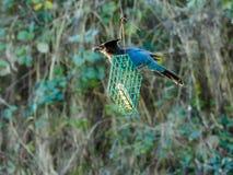 Blauer Jay auf einer Zufuhr Lizenzfreies Stockbild