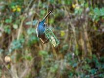 Blauer Jay auf einer Zufuhr Lizenzfreie Stockbilder