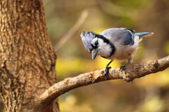 Blauer Jay, Cyanocitta cristata Stockbild