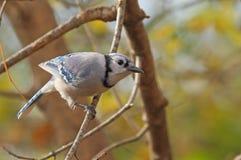 Blauer Jay, Cyanocitta cristata Lizenzfreie Stockbilder