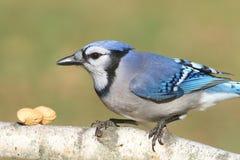 Blauer Jay, der Erdnüsse isst Lizenzfreie Stockfotos