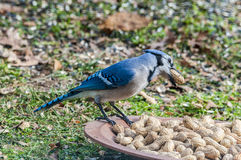 Blauer Jay, der Erdnüsse isst Stockbild