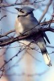 Blauer Jay gehockt auf Baum-Glied Lizenzfreies Stockfoto