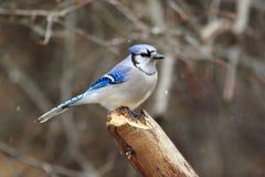 Blauer Jay im Schnee Stockfotografie