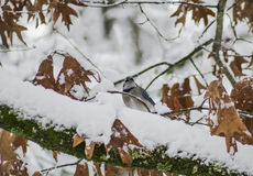 Blauer Jay im Schnee Lizenzfreies Stockbild