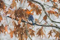 Blauer Jay im Schnee (2) Lizenzfreie Stockfotos