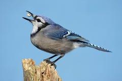 Blauer Jay mit einer Erdnuss Stockfotografie