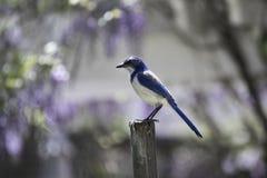 Blauer Jay Sitting auf h?lzernem Polen mit purpurrotem Hintergrund stockbild