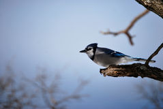Blauer Jay-Winter-Baum-Zweig Stockfotografie