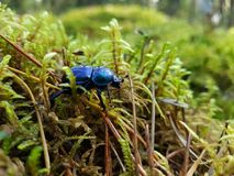 Blauer Käfer stockfotografie