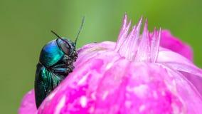 Blauer Käfer auf rosa Blume Stockfotografie