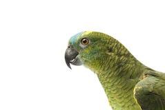 Blauer konfrontierter Amazonas-Papagei Lizenzfreie Stockfotografie