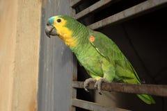 Blauer konfrontierter Amazonas-Papagei Lizenzfreies Stockbild