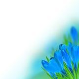 Blauer Krokus Stockfoto