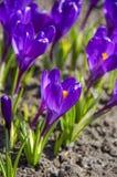 Blauer Krokus im Frühjahr Lizenzfreie Stockbilder