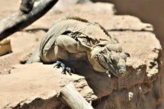 Blauer Leguan Grand Caymans, Phoenix-Zoo, Arizona-Mitte für Erhaltung der Natur, Phoenix, Arizona, Vereinigte Staaten lizenzfreies stockbild
