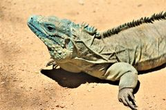 Blauer Leguan Grand Caymans, Phoenix-Zoo, Arizona-Mitte für Erhaltung der Natur, Phoenix, Arizona, Vereinigte Staaten stockfotos