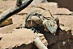 Blauer Leguan Grand Caymans, Phoenix-Zoo, Arizona-Mitte für Erhaltung der Natur, Phoenix, Arizona, Vereinigte Staaten lizenzfreie stockbilder