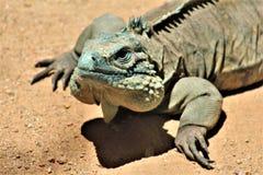 Blauer Leguan Grand Caymans, Phoenix-Zoo, Arizona-Mitte für Erhaltung der Natur, Phoenix, Arizona, Vereinigte Staaten stockbilder