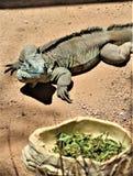 Blauer Leguan Grand Caymans, Phoenix-Zoo, Arizona-Mitte für Erhaltung der Natur, Phoenix, Arizona, Vereinigte Staaten lizenzfreie stockfotos