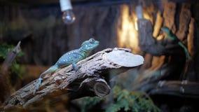 Blauer Leguan im Terrarium stock footage