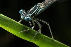 Blauer Libellekopf Lizenzfreies Stockbild