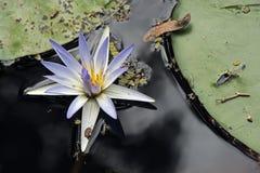 Blauer Lotos auf sehr dunklem Wasser des Sees Stockfotografie