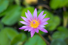 Blauer Lotos-Blumen Stockbild